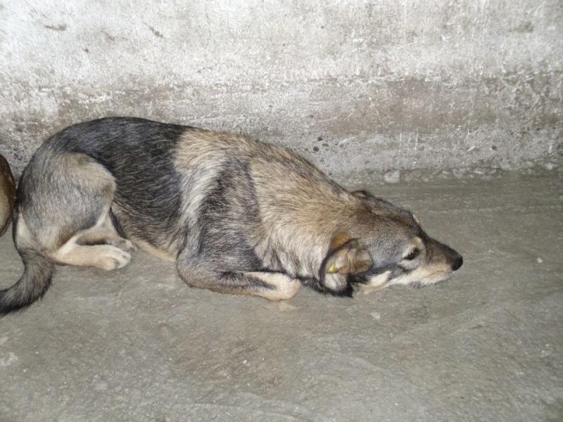 Mist en fourrière en Roumanie octobre 2013